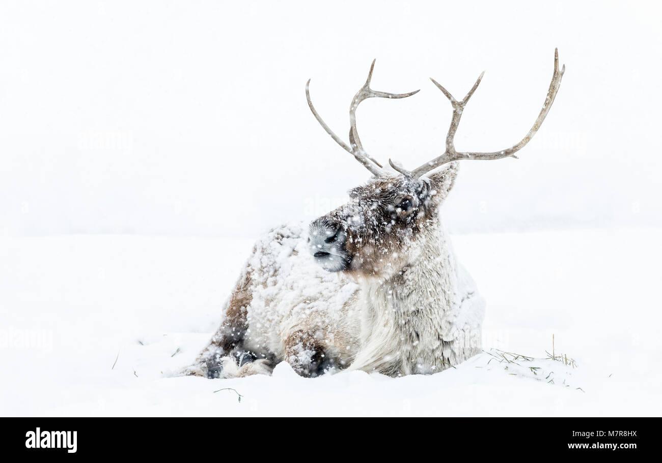 La renna, in una tempesta di neve in inverno, noto anche come boreale terreno boscoso dei caribù in Nord America, Immagini Stock