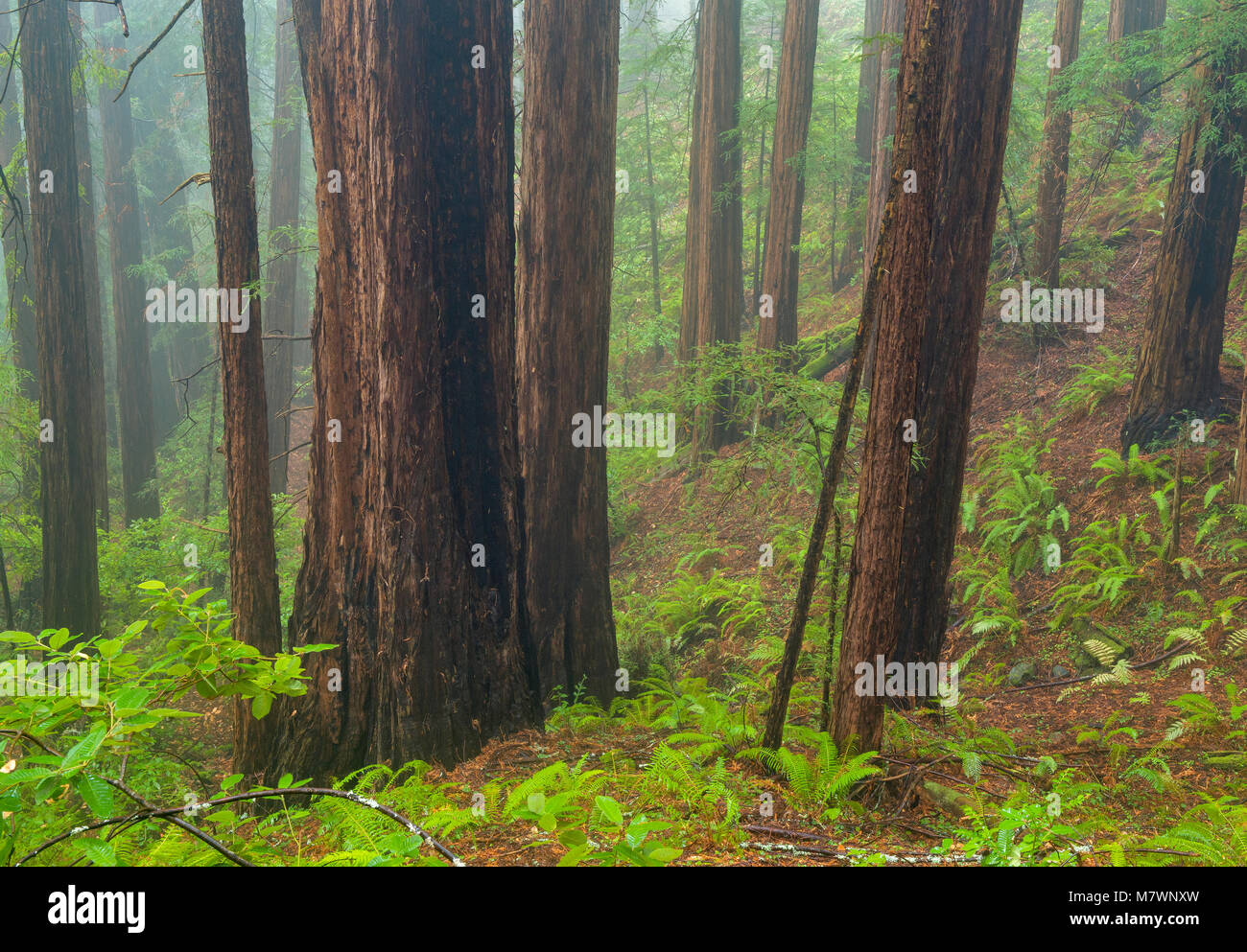 Nebbia costiera, Redwoods, Sequoia sempervirens, Muir Woods National Monument, Marin County, California Immagini Stock