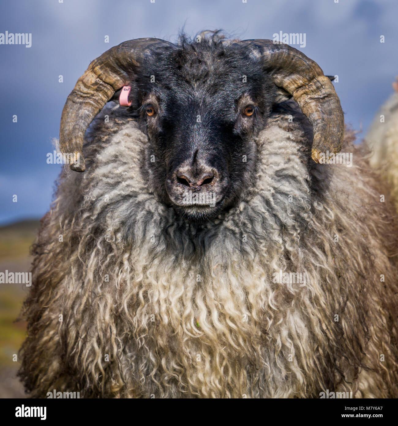Islandese di pecora nera, Autunno Round-up, Islanda Immagini Stock