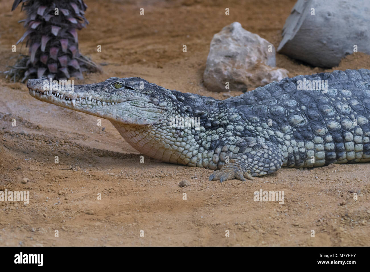Femmina niles crocodile appoggiata nella sabbia Immagini Stock