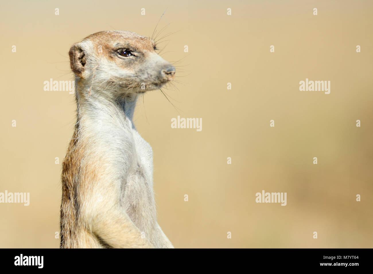 Ritratto di un Meerkat Immagini Stock