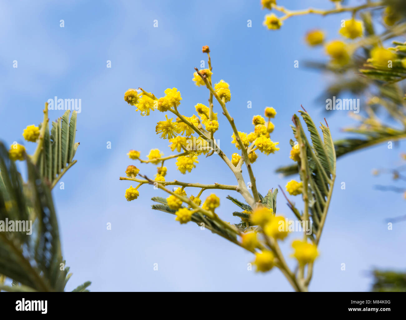 Giallo Mimosa pianta (Acacia dealbata) in primavera nel Regno Unito. Immagini Stock