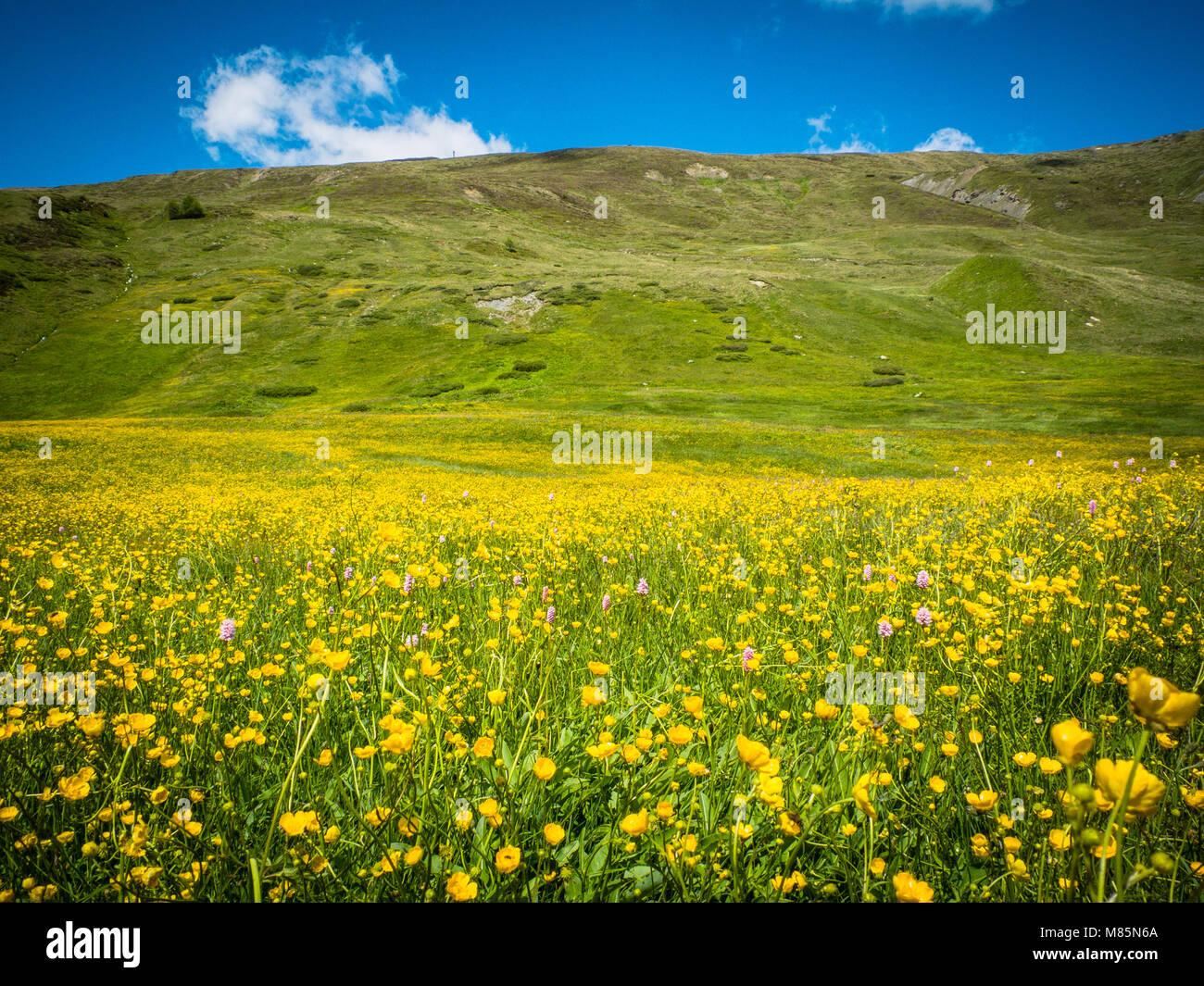 Fiori Gialli Botton Doro.Campo In Montagna Con Fiori Di Colore Giallo Botton D Oro Il Cielo