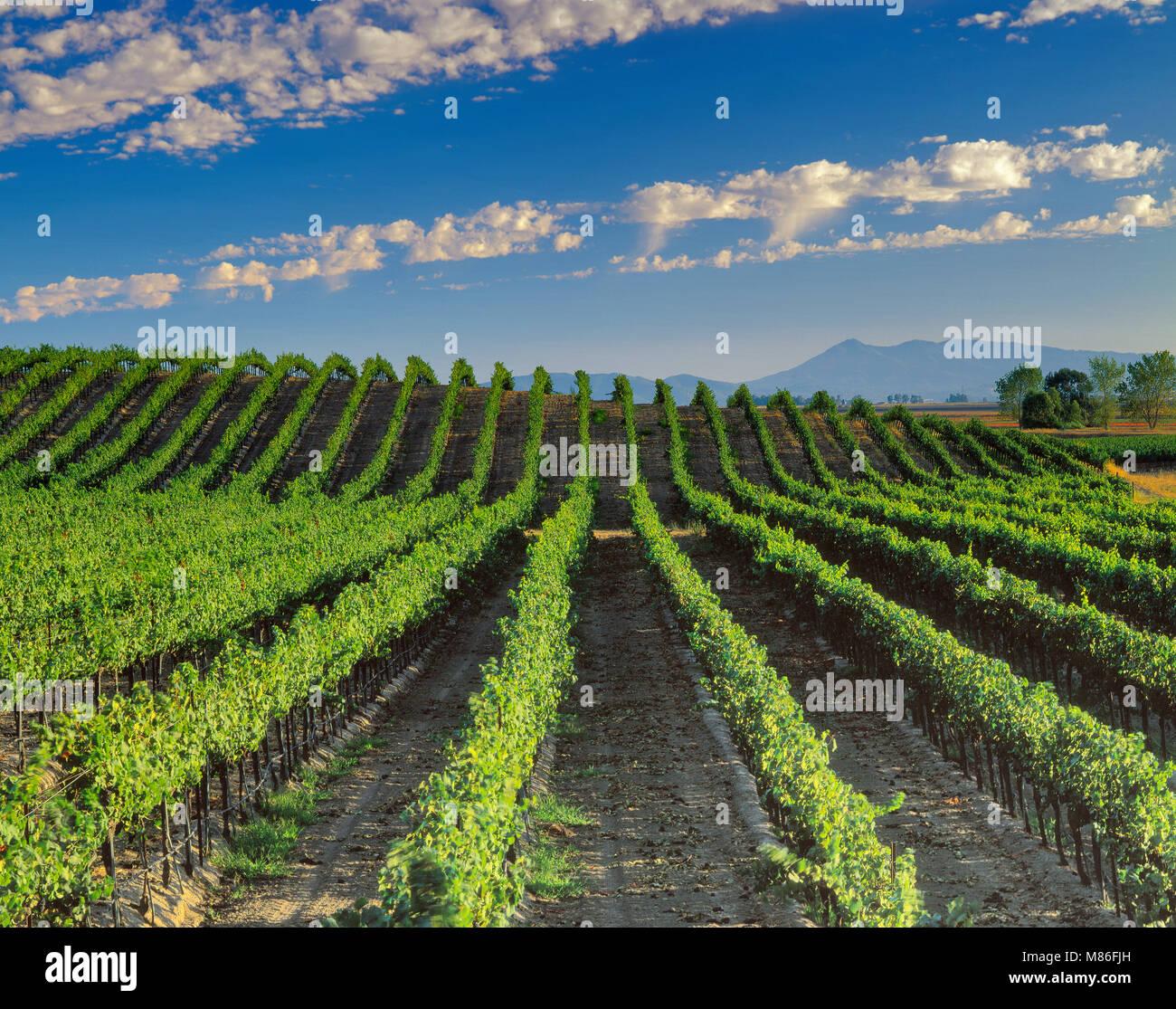 Vigneto, Carneros Denominazione, Sonoma County, California Foto Stock