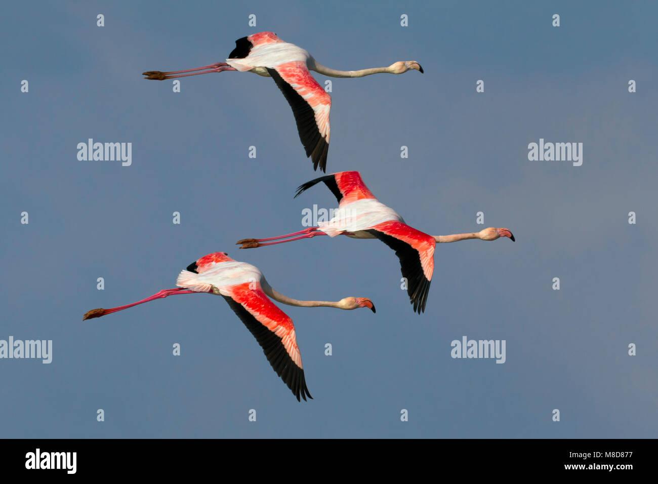 Flamingo in de vlucht; maggiore fenicotteri in volo Immagini Stock