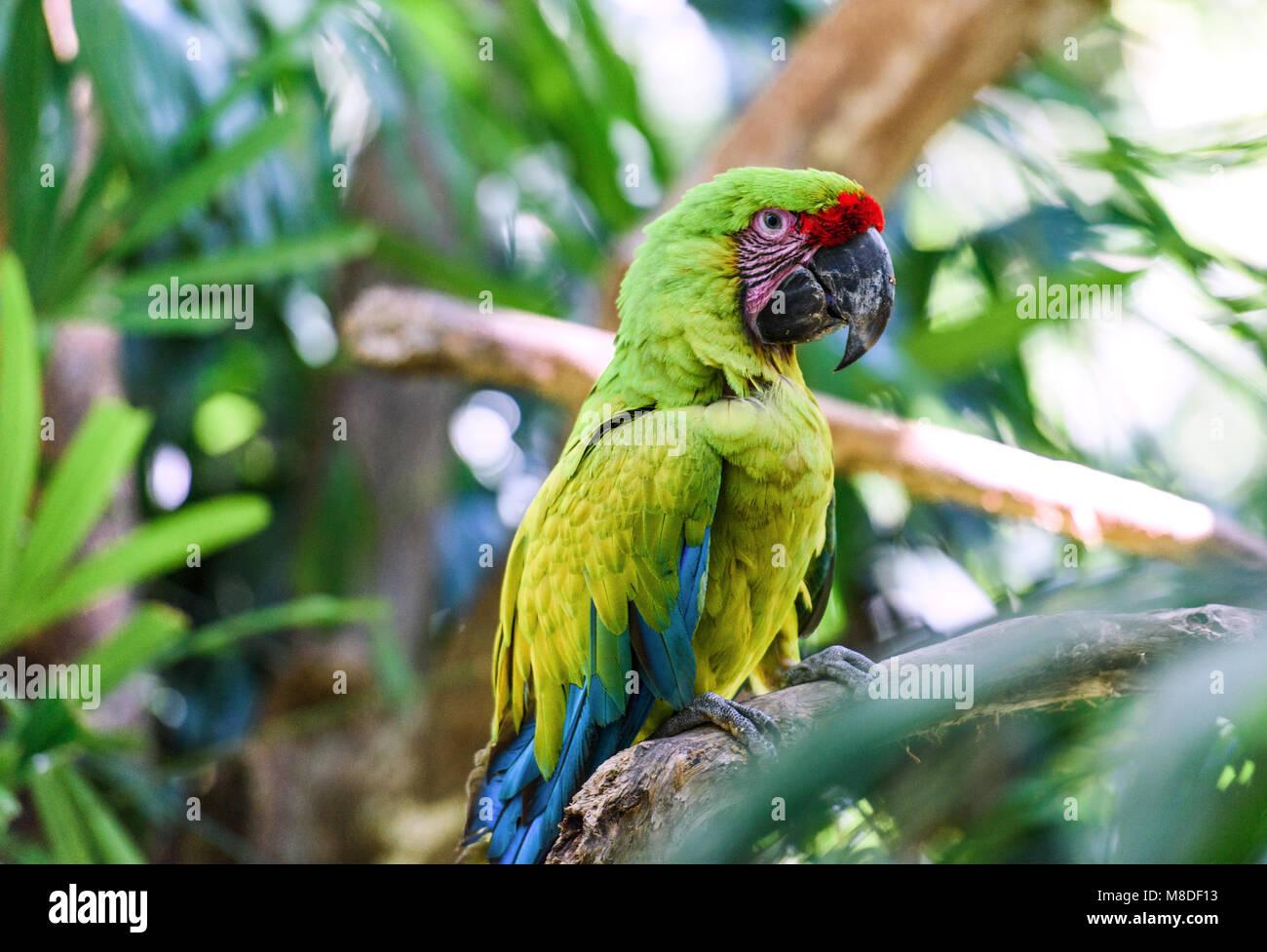 La fauna selvatica in Costa Rica. Pappagallo Ara nel verde della foresta tropicale in Costa Rica. Immagini Stock