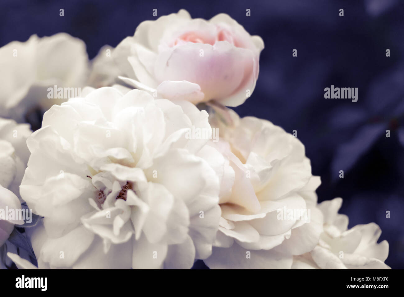 Delicato Colore Viola Pallido pallido delicato bianco-rosa rose sul surreale viola sfocata