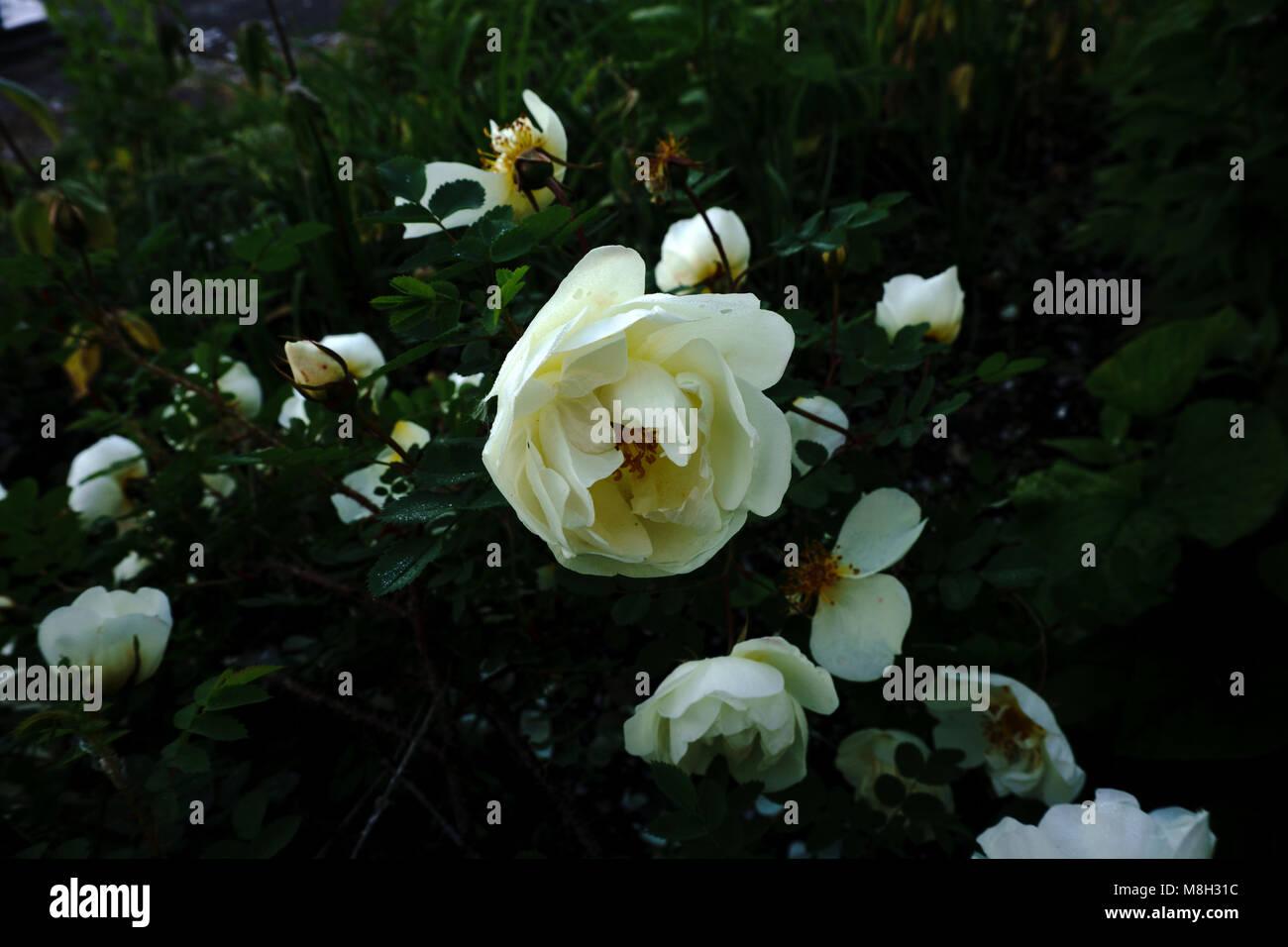Fiori Bianchi Simili A Rose.Testa Di Fiore Simile A Una Margherita Immagini Testa Di Fiore