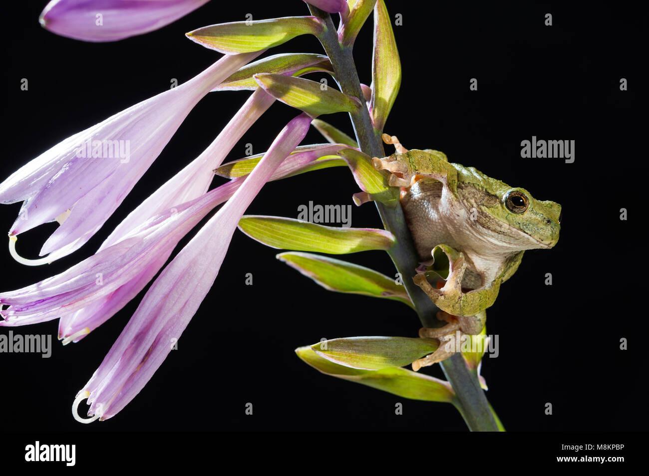 Grigio Raganella (Hyla versicolor) su fioritura Hosta, MN, USA di Dominique Braud/Dembinsky Foto Assoc Immagini Stock