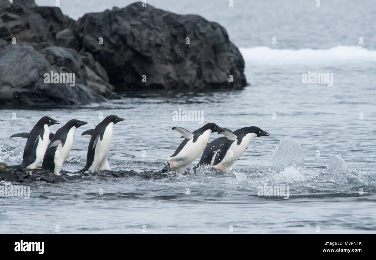 Un gruppo di pinguini Adelie saltare nell'oceano a Brown Bluff, Antartide. Immagini Stock