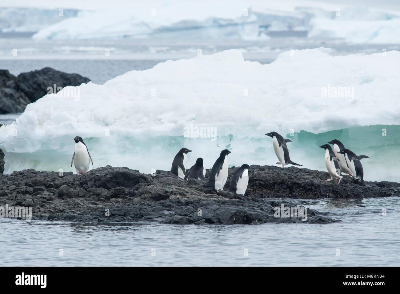 Un gruppo di pinguini Adelie a piedi lungo il ghiaccio a Brown Bluff, Antartide. Immagini Stock