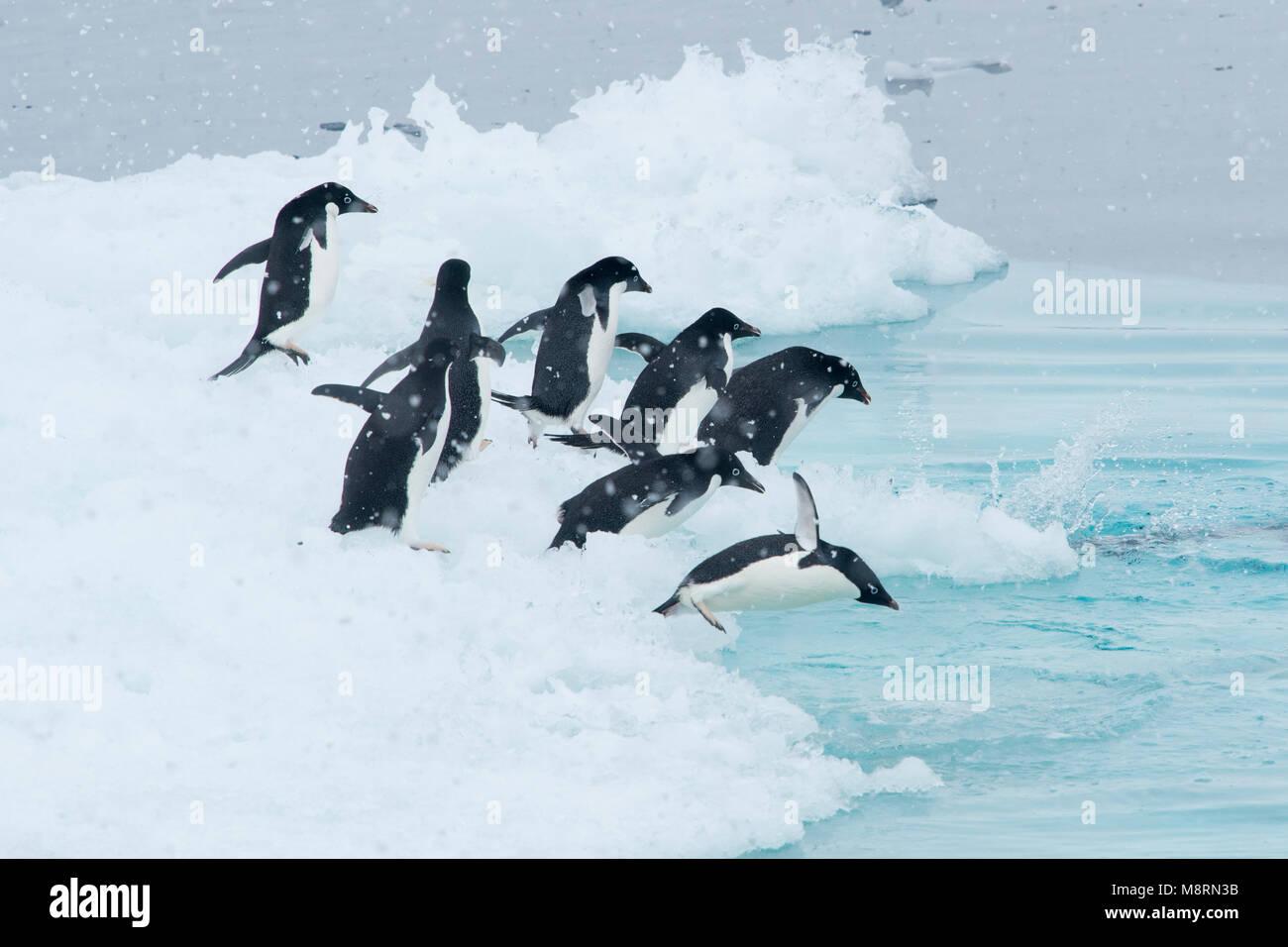 Un gruppo di pinguini Adelie immergersi nell'oceano da un iceberg in Antartide. Immagini Stock