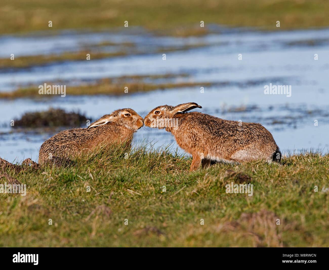 European brown hare corteggiamento Immagini Stock