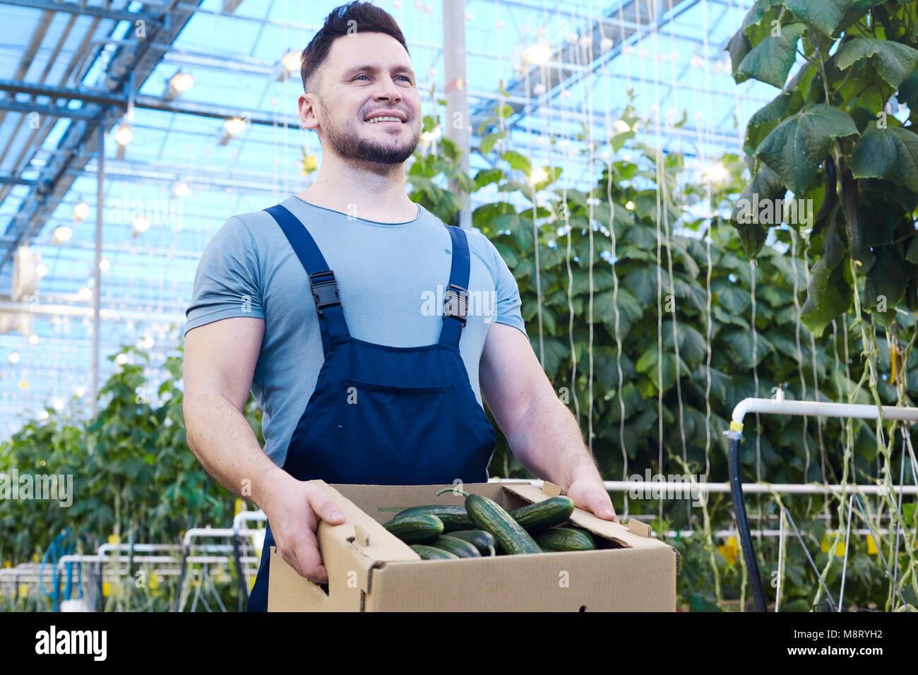 Fiero contadino con scatola di cetrioli Immagini Stock