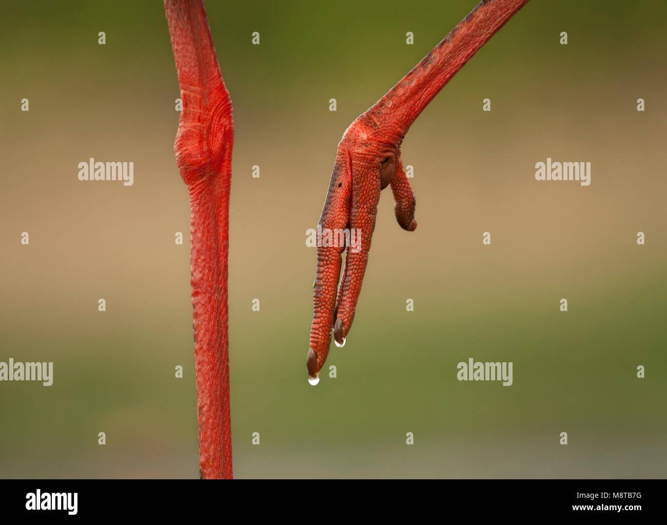 Ri en nagels van een Zwarte Ooievaar; gambe e chiodi da una cicogna nera Immagini Stock