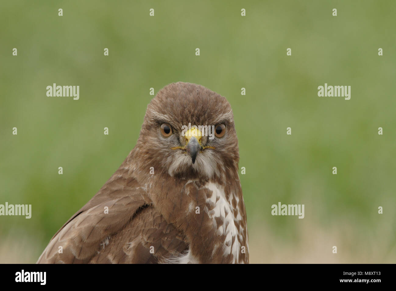 Buizerd portret; comune poiana close-up Immagini Stock