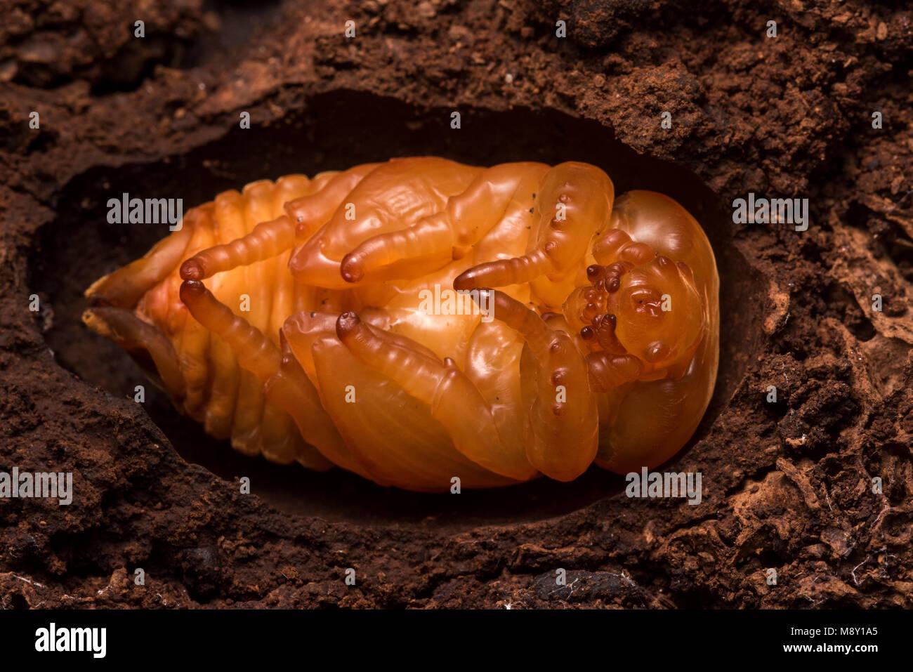 Un coleottero subendo metamorfosi, probabilmente una specie dalla famiglia Scarabaeidae. Immagini Stock