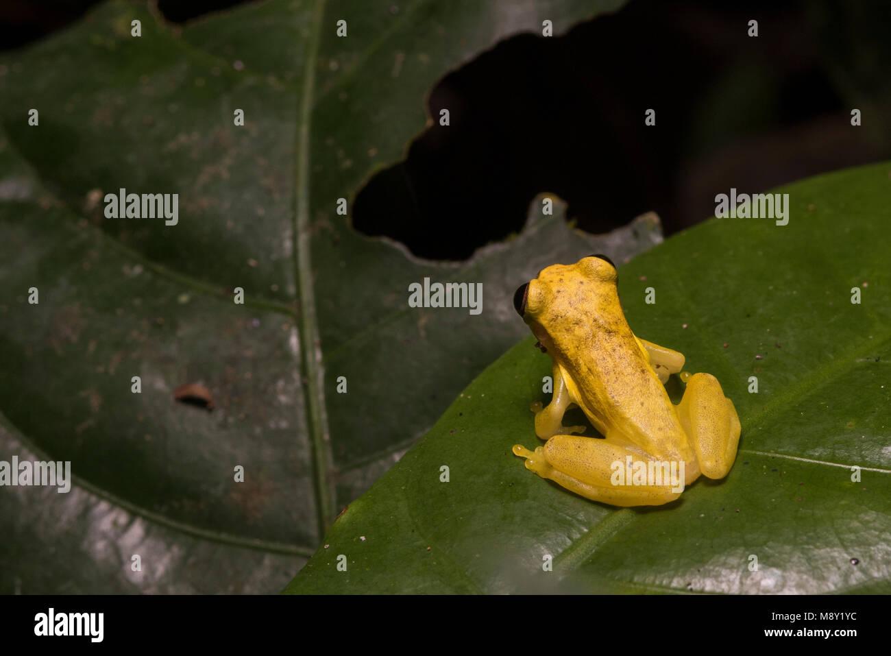 Un giallo brillante clown raganella (Dendropsophus specie) dalla giungla del Perù. Immagini Stock