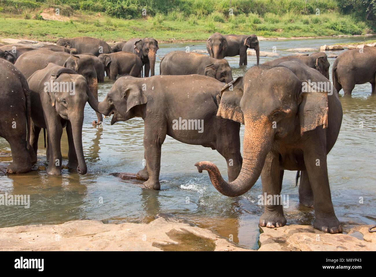 Il governo dello Sri Lanka elefanti dal Pinnawala l'Orfanotrofio degli Elefanti balneazione nel fiume nelle Immagini Stock