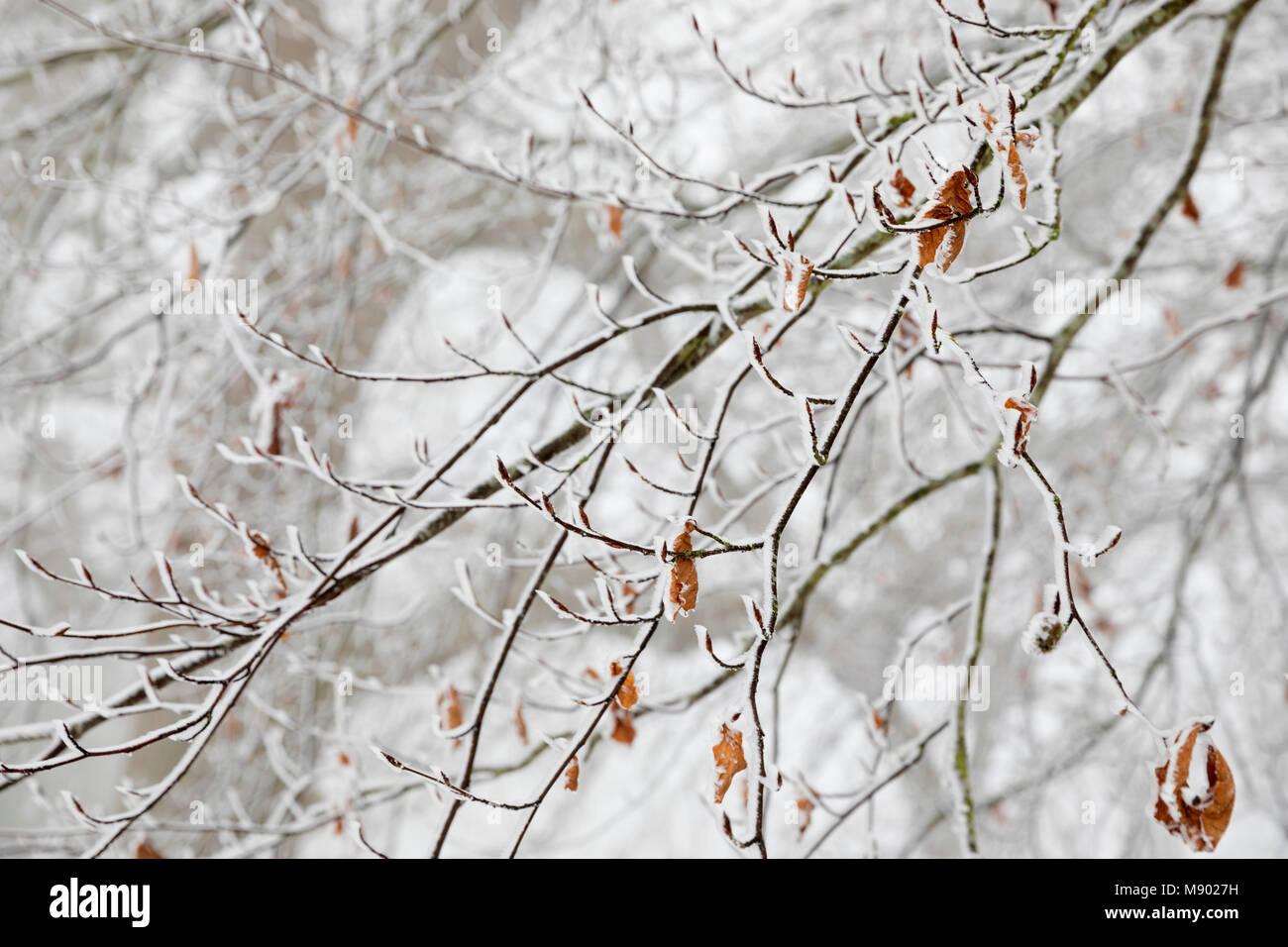 Congelati i rami degli alberi, Chipping Campden, il Costwolds, Gloucestershire, England, Regno Unito, Europa Immagini Stock