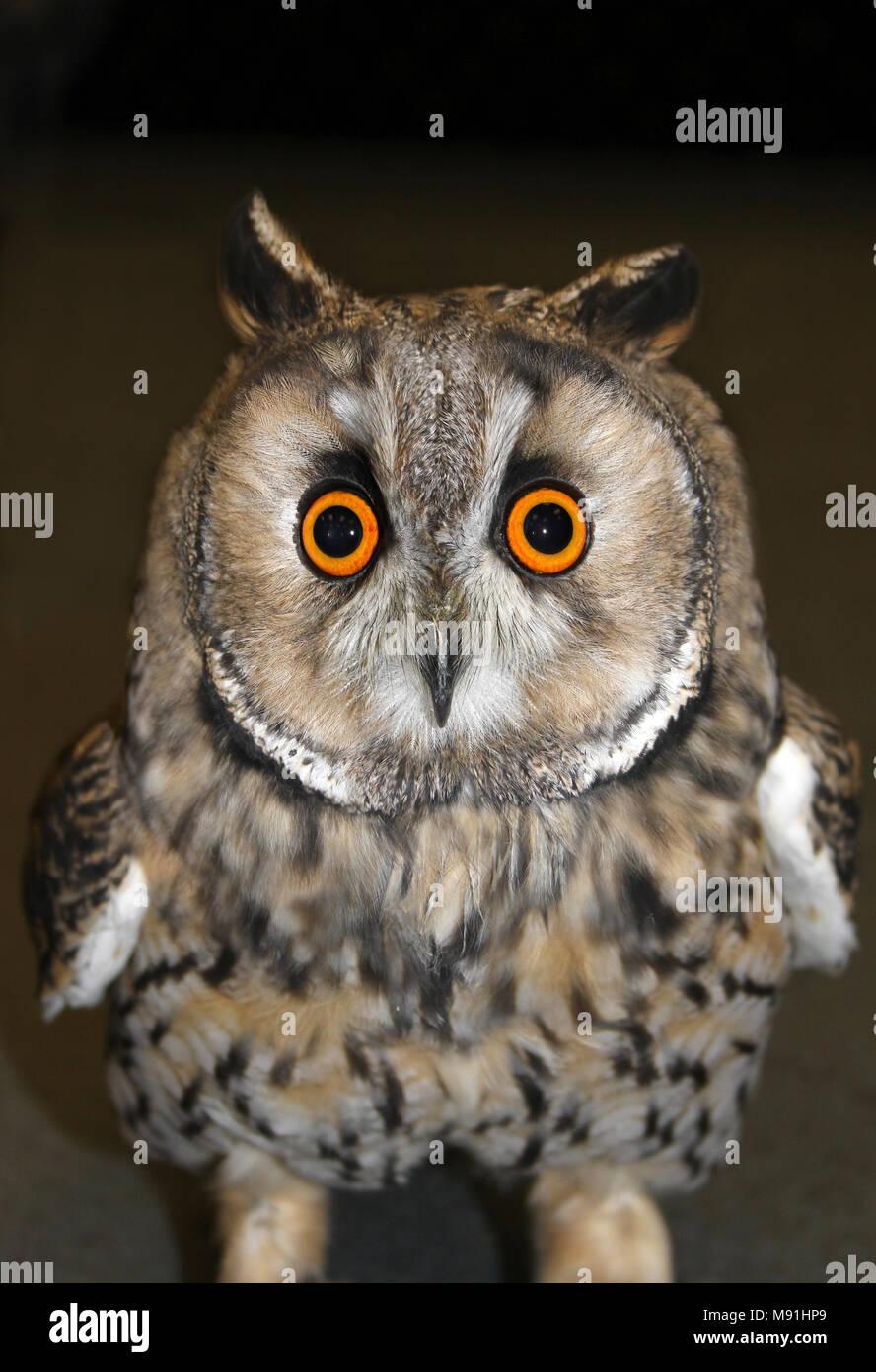 Long Eared Owl Asio otus faccia Shot Immagini Stock