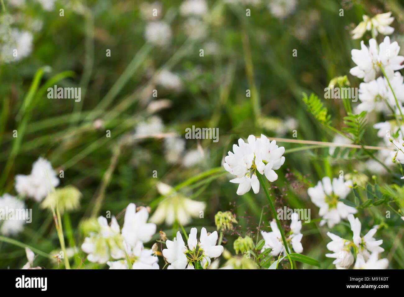Fiori Bianchi Di Montagna.White Wild Trifolium Montanum Crescente Nel Campo Estivo