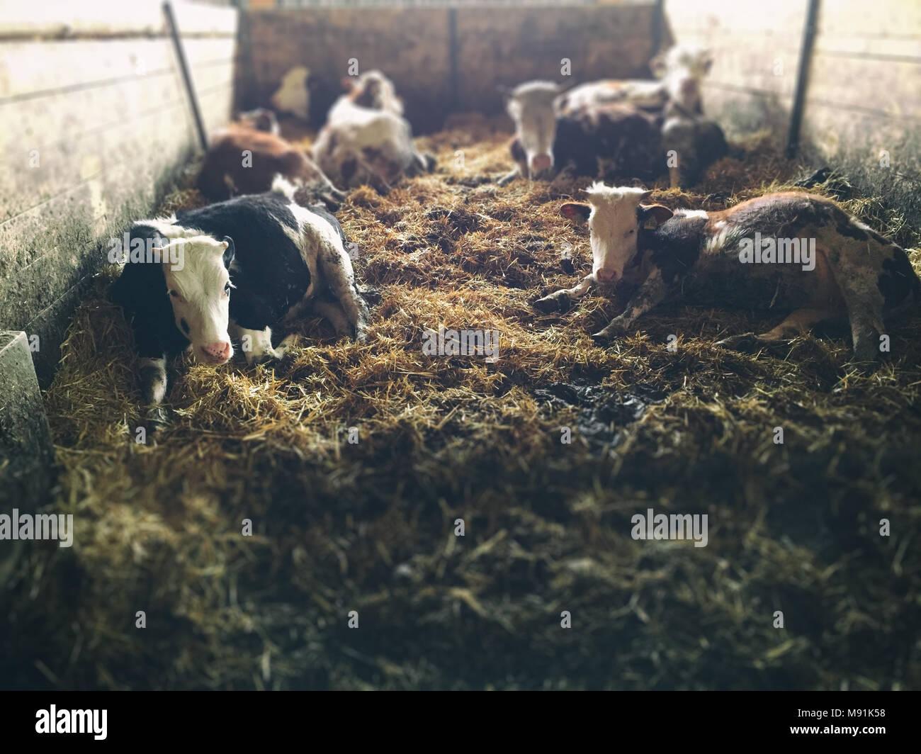Le mucche giacciono in un granaio Foto Stock