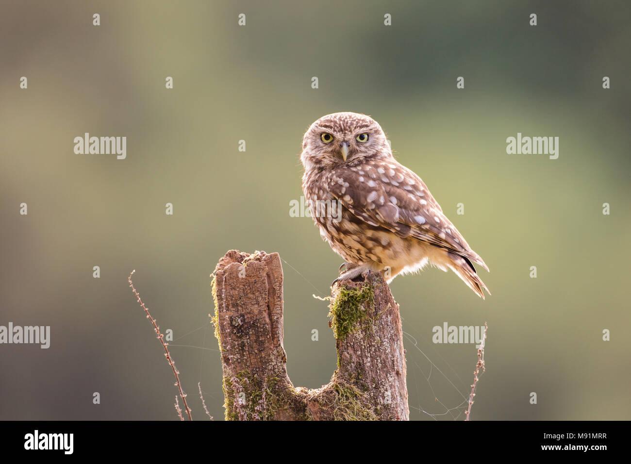 Piccolo gufo appollaiato su un palo di legno. Guardare dritto verso la fotocamera e con dei bei retroilluminazione Immagini Stock