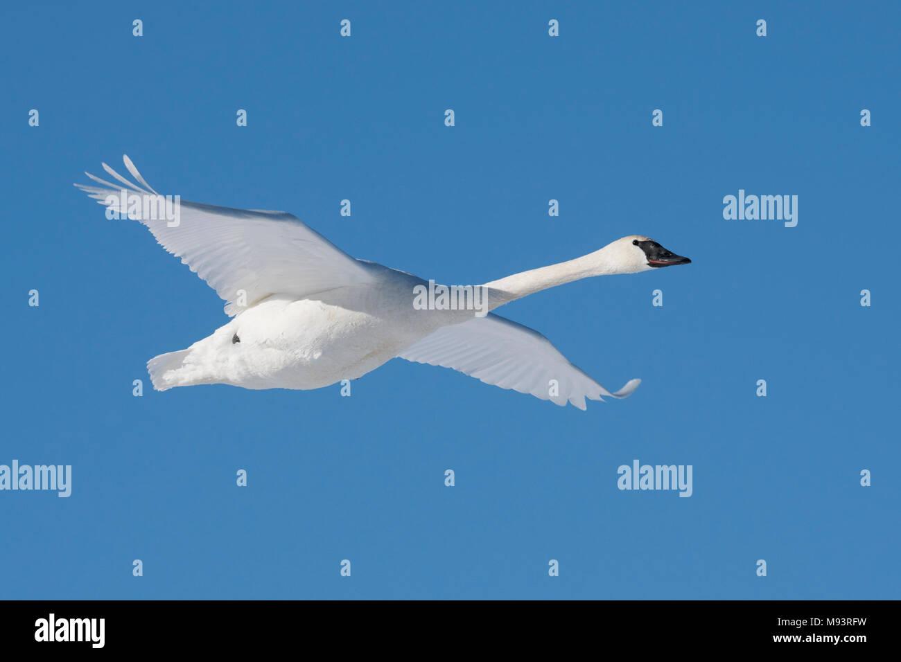 Trumpeter swan (Cygnus buccinatore) in volo, WI, Stati Uniti d'America, all'inizio di gennaio, da Dominique Braud/Dembinsky Foto Assoc Foto Stock