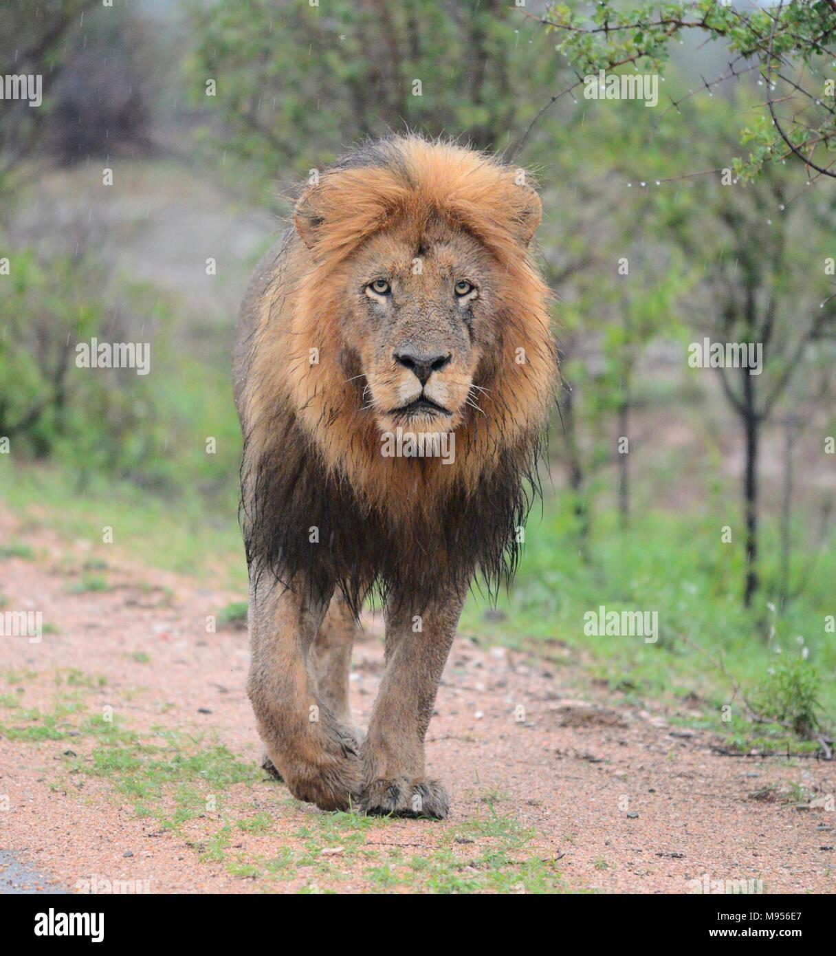 Il Sudafrica è una destinazione turistica popolare per la sua miscela di veri africani e esperienze europee. Il Kruger Park umido leone maschio close-up. Immagini Stock