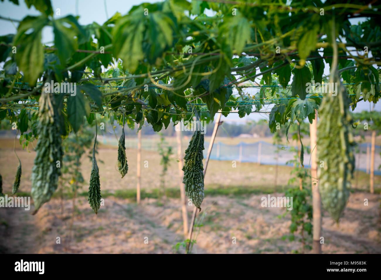 Il melone amaro momordica charantia coltivazione della for Melone coltivazione