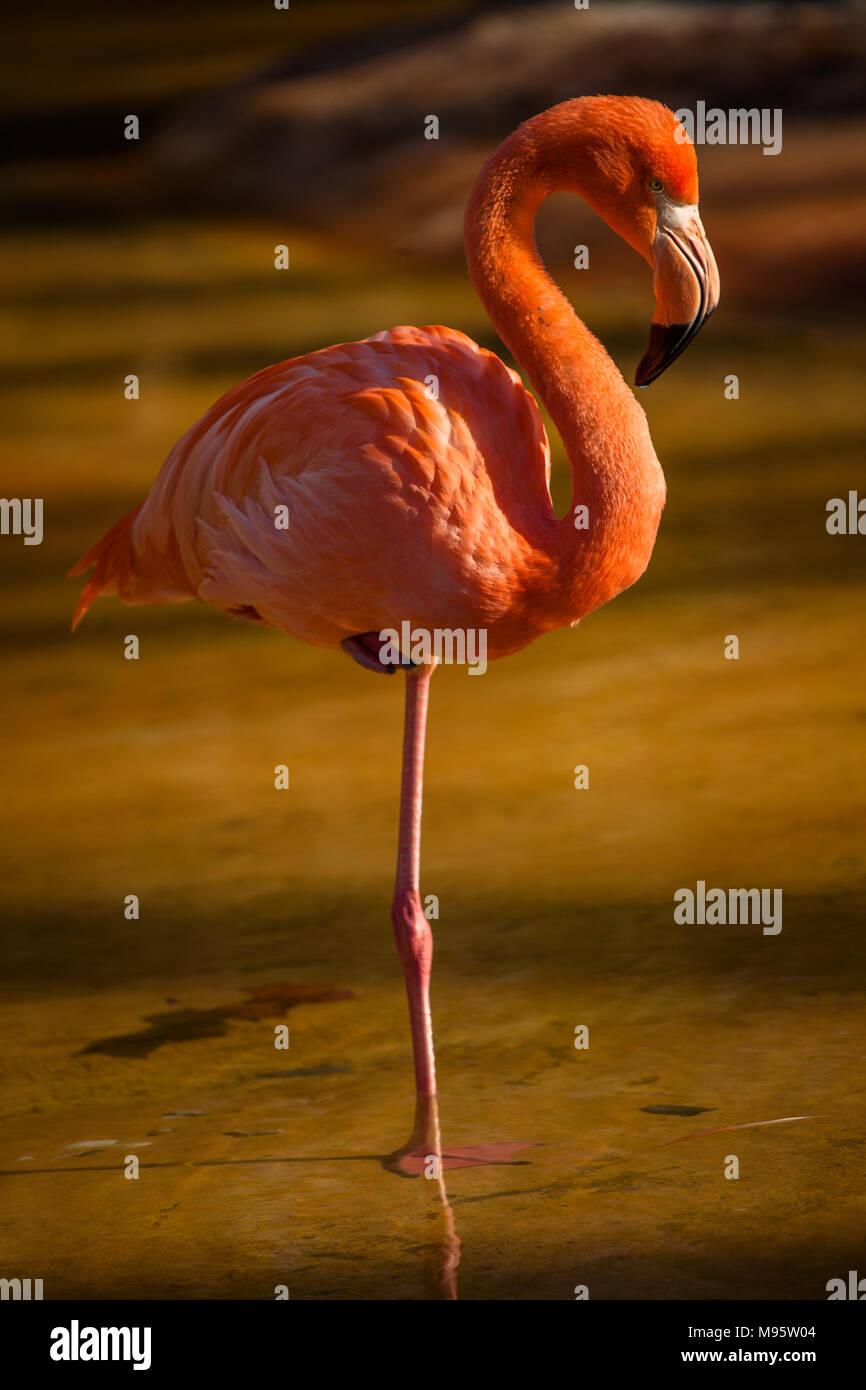 Un Americano Flamingo in piedi su una gamba sola per trattenere il calore corporeo camminando in stagno in Zoo di Barcellona. Barcelona, Spagna Immagini Stock