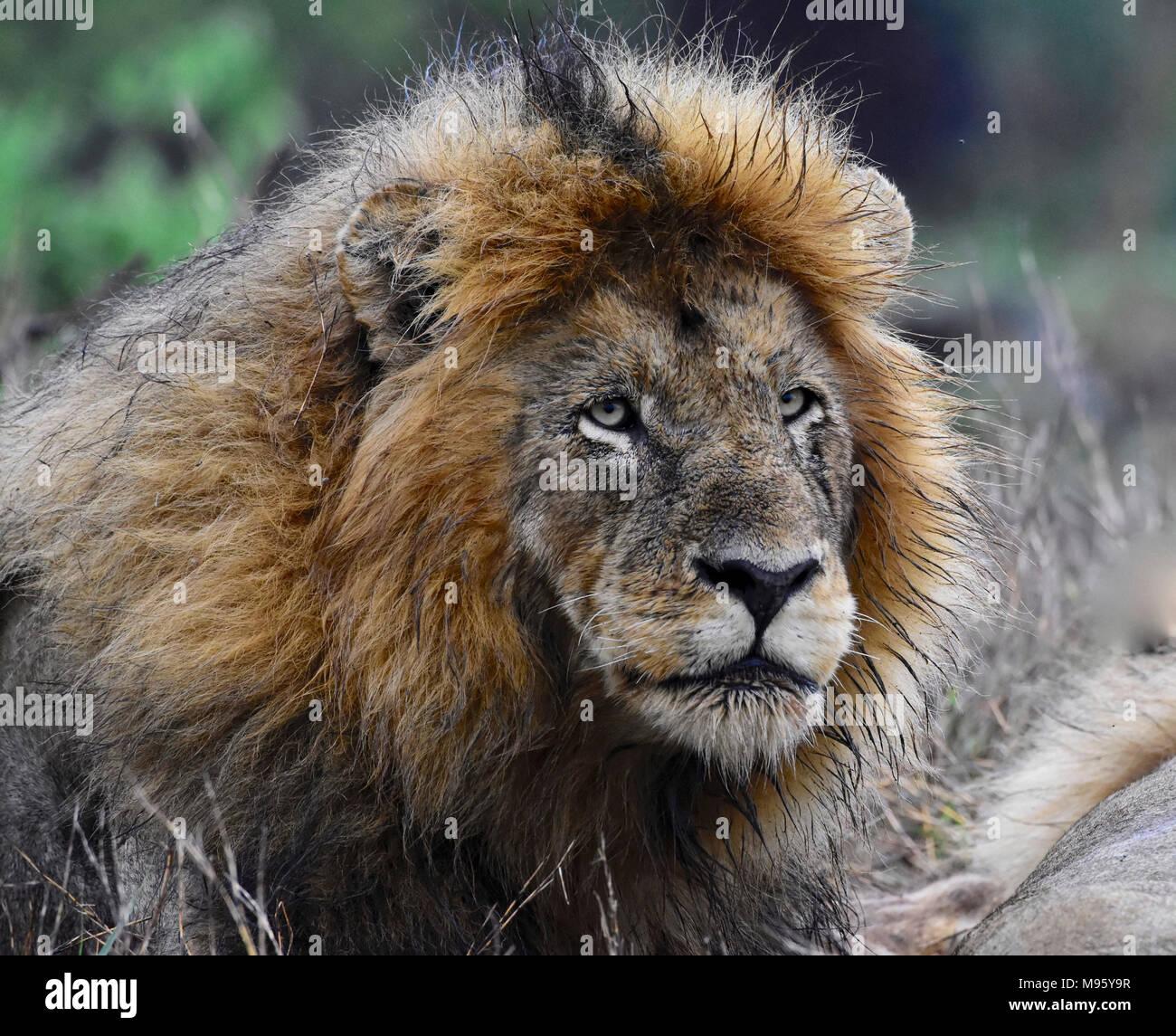 Il Sudafrica è una destinazione turistica popolare per la sua miscela di veri africani e esperienze europee. Il Kruger Park è famosa in tutto il mondo. Wet maschio di leone. Immagini Stock