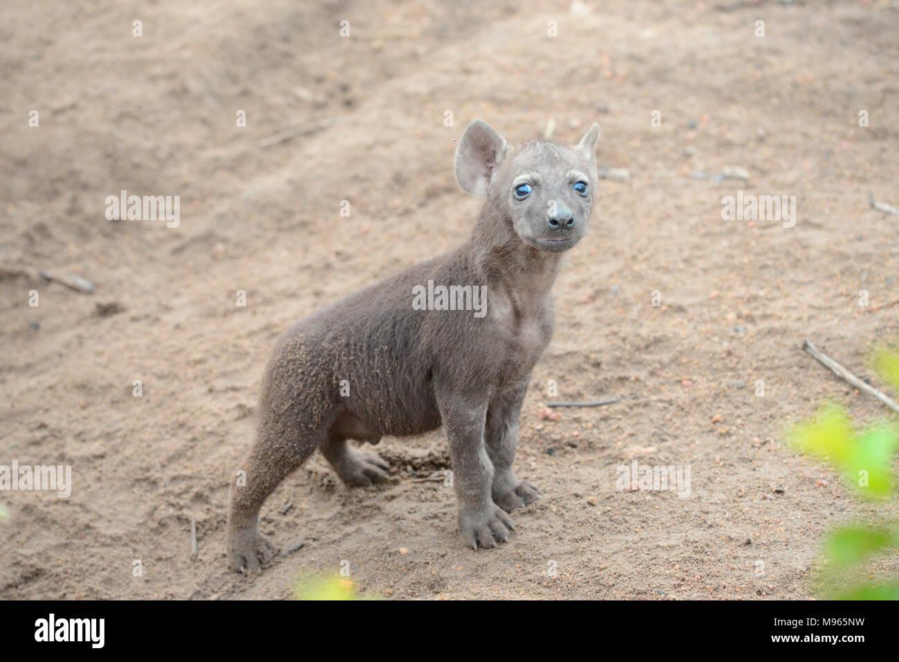 Il Sudafrica è una destinazione turistica popolare per la sua miscela di veri africani e esperienze europee. Il Kruger Park baby iena. Immagini Stock