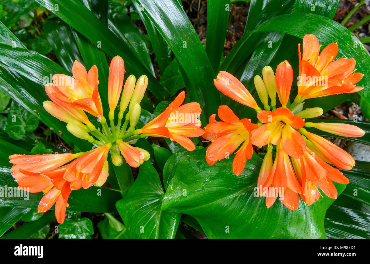 Clivia, Amaryllidaceae, Kaffir Lily, Cypress Garden, Mill Valley, California Immagini Stock