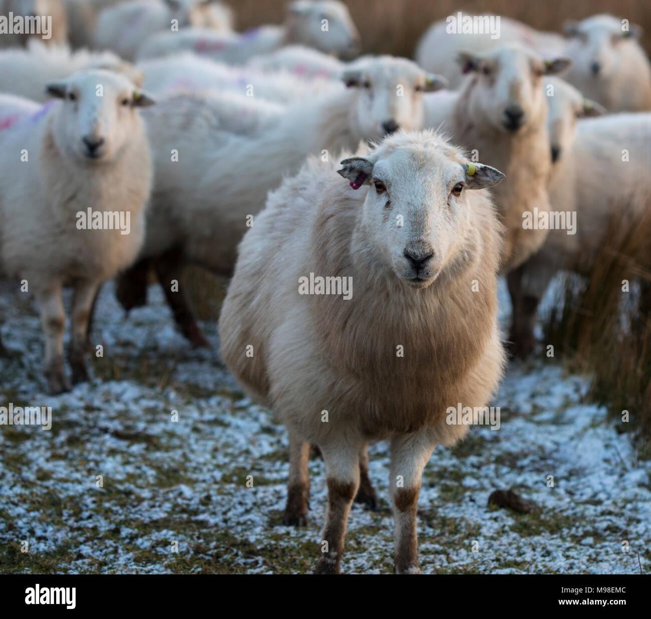 Herdwick pecore nel nord del Galles in inverno al tramonto. Le pecore hanno una sfumatura di colore arancione a causa dell'impostazione sun. Le pecore sono dovuti per l'agnello al più presto. Immagini Stock