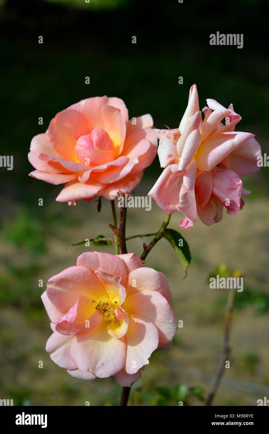 In prossimità di un bel colore rosa Ramo di rose Immagini Stock
