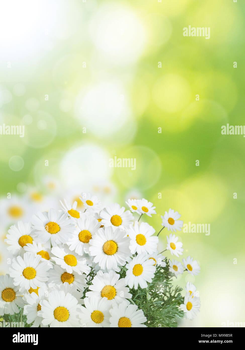 Daisy Bianco Fiori Gialli In Estate Il Giardino Sfocata Sfondo