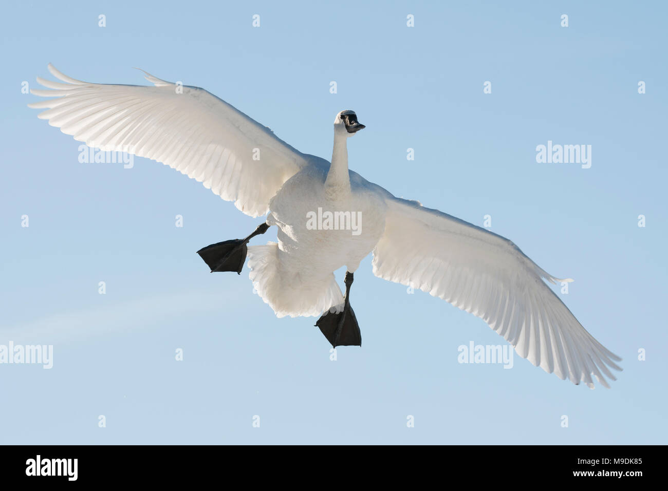 Trumpeter swan (Cygnus buccinatore) lo sbarco sul St. Croix River, WI, Stati Uniti d'America, alla fine di gennaio, da Dominique Braud/Dembinsky Foto Assoc Immagini Stock