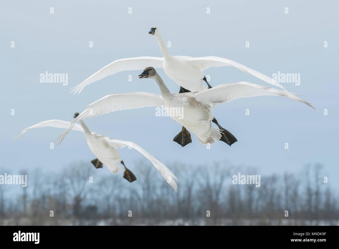 I cigni trombetta (Cygnus buccinatore) in atterraggio a St. Croix River, WI, Stati Uniti d'America, alla fine di gennaio, da Dominique Braud/Dembinsky Foto Assoc Immagini Stock