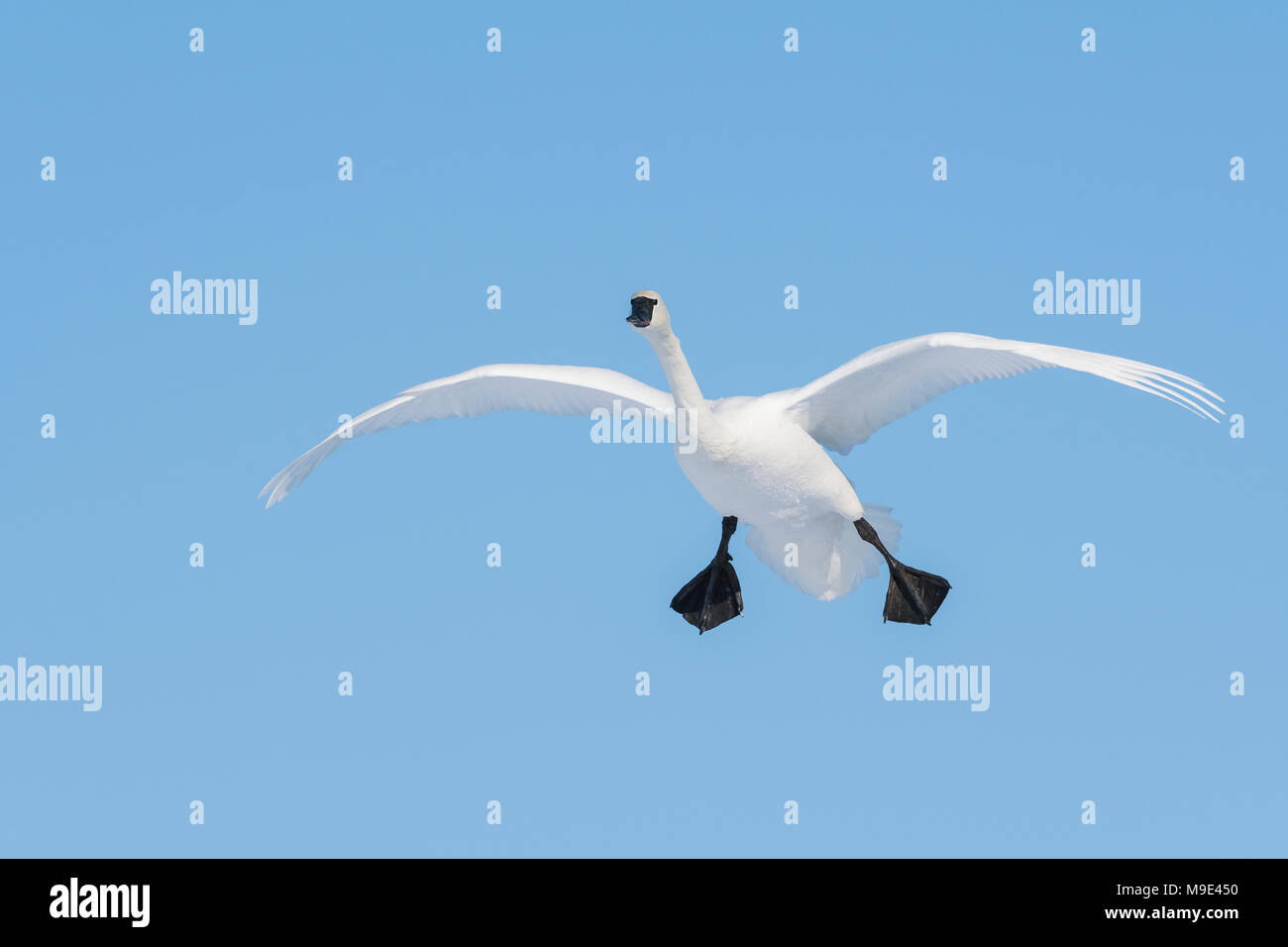 Trumpeter swan (Cygnus buccinatore) in atterraggio a St. Croix River, WI, Stati Uniti d'America, a metà gennaio, da Dominique Braud/Dembinsky Foto Assoc Immagini Stock