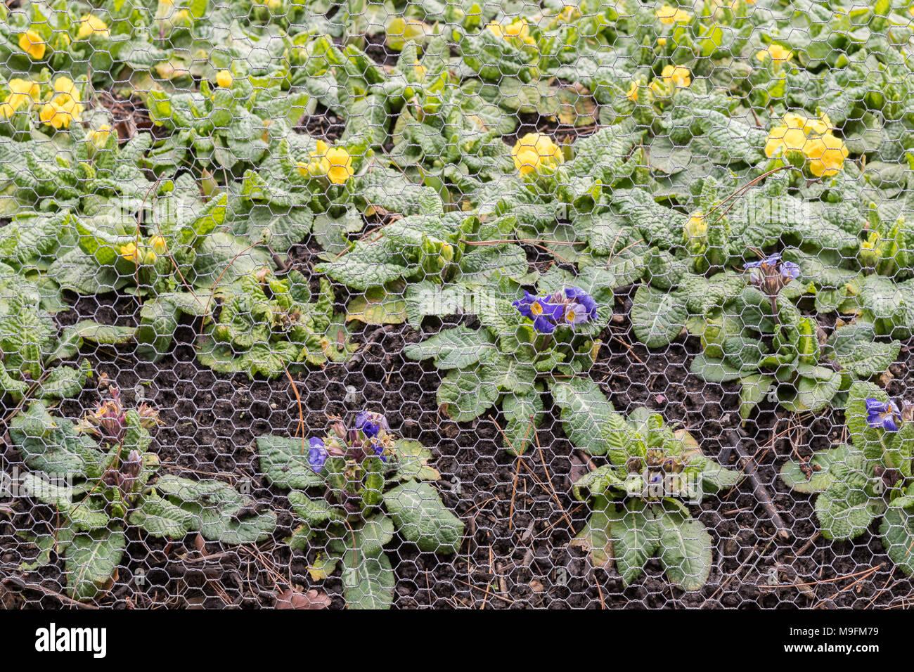 Maglia di filo filo di pollo proteggere piante di biancheria da letto da conigli Immagini Stock