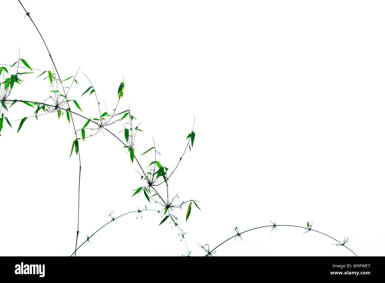 Bambù Verde foglie e rami con bellissimo motivo isolato su sfondo bianco con copia spazio. Naturali e Biologici sfondo astratto per mora Immagini Stock