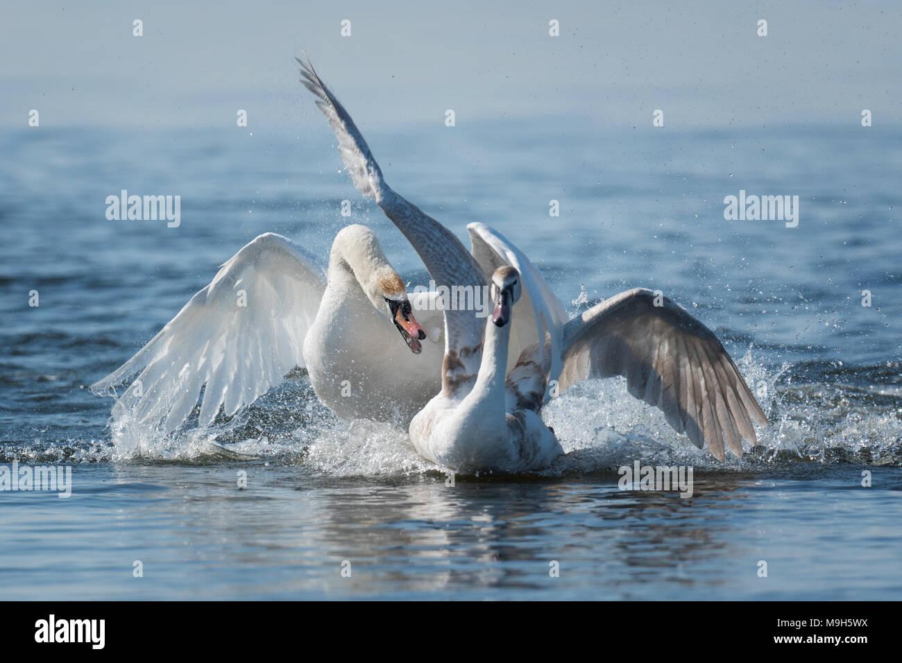 Due cigni maschio, Cygnus olor, durante una lotta per la supremazia in accoppiamento stagione sul fiume Immagini Stock