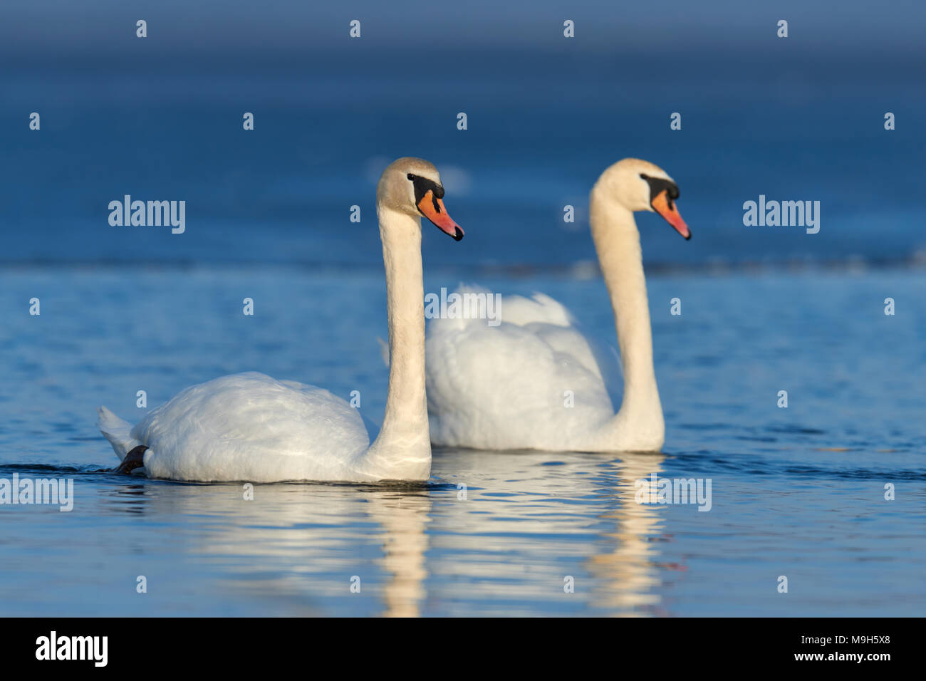 Coppia romantica di cigni sul lago. Swan riflesso nell'acqua Immagini Stock