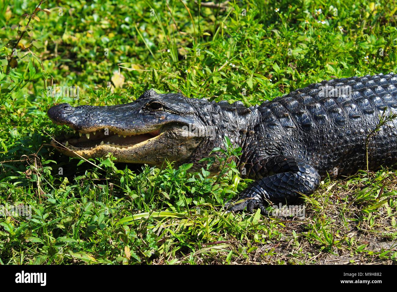 Crocodile seduta sulle sponde del fiume. Foto Stock