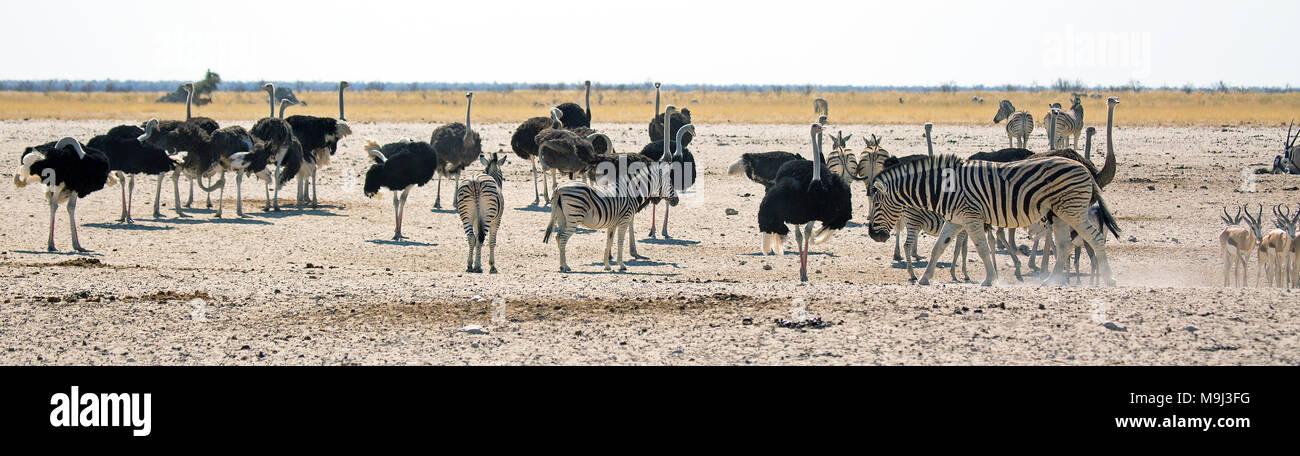Zebra e struzzo comune,la fauna selvatica in Etosha Parco internazionali, Namibia Immagini Stock