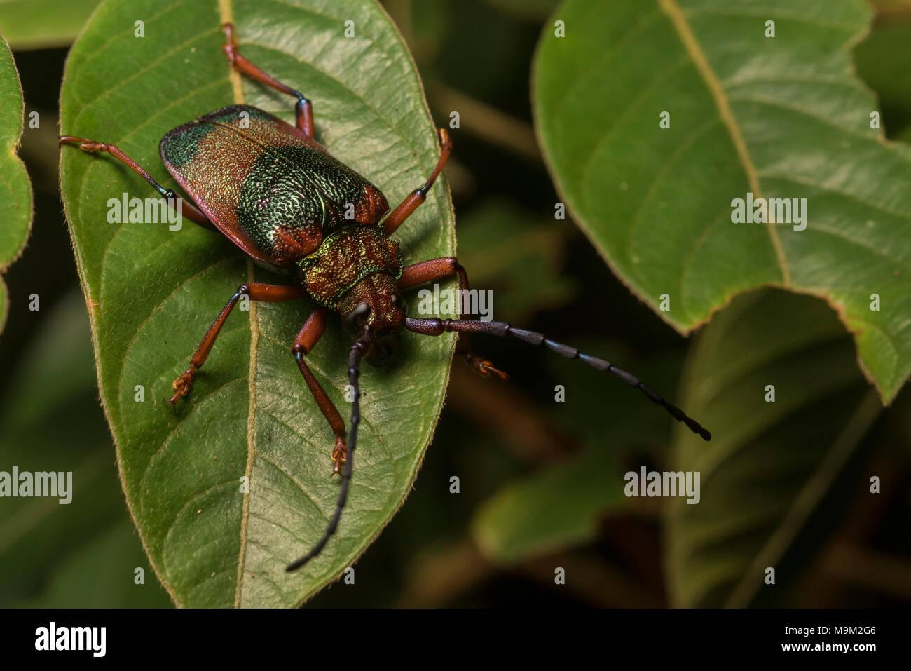 Una sorta di scarabeo dal Perù tropicale, trovato seduto su questa foglia nella foresta pluviale tropicale. Immagini Stock