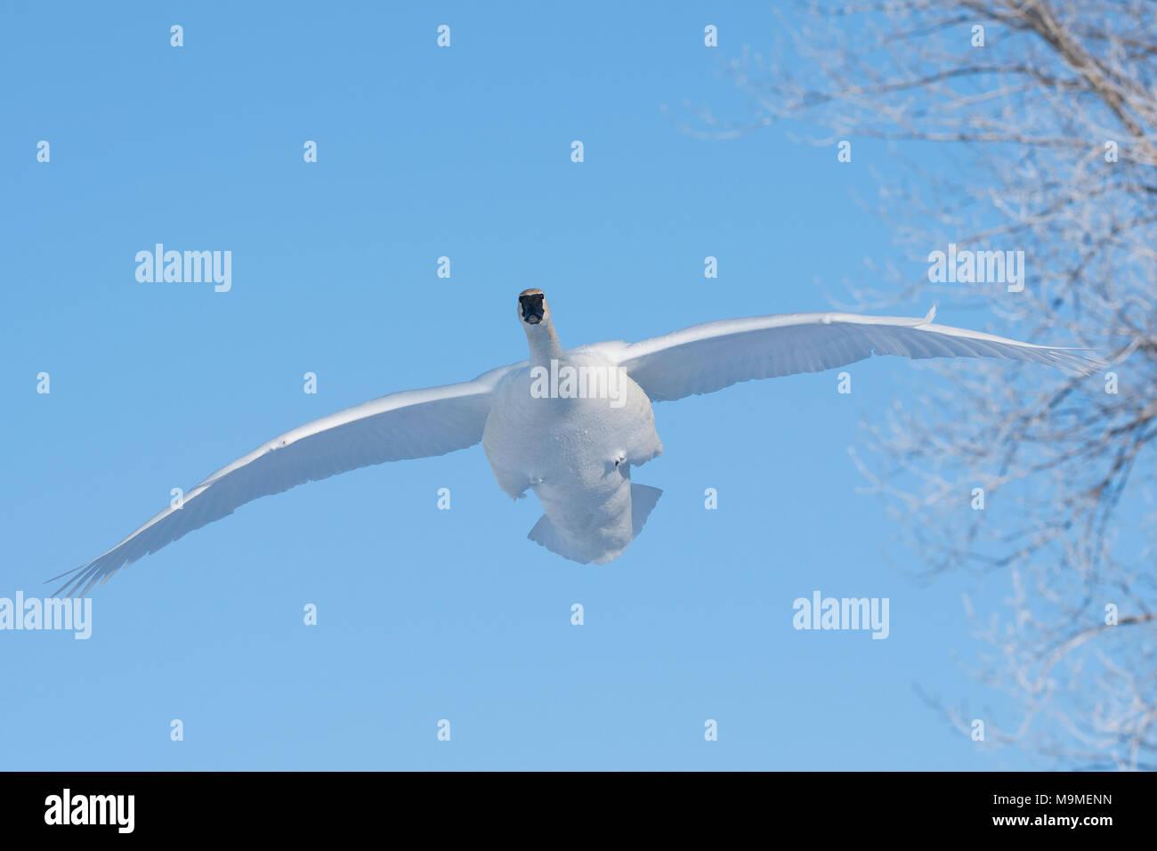 Trumpeter swan (Cygnus buccinatore), vicino a St Croix river, WI, Stati Uniti d'America, fine febbraio, da Dominique Braud/Dembinsky Foto Assoc Immagini Stock