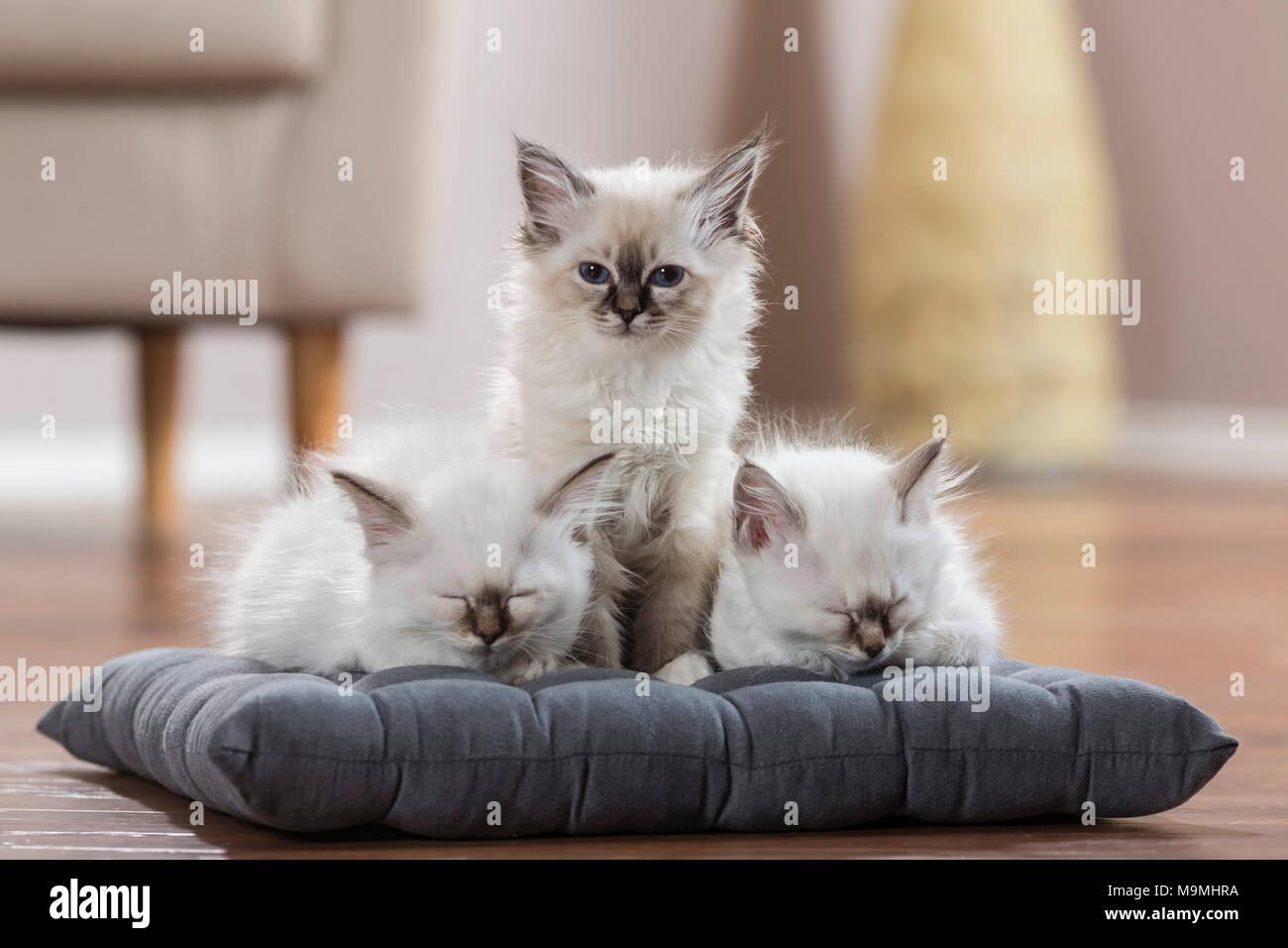Gatto sacri di birmania. Tre gattini su un cuscino, due di loro a dormire. Germania Immagini Stock